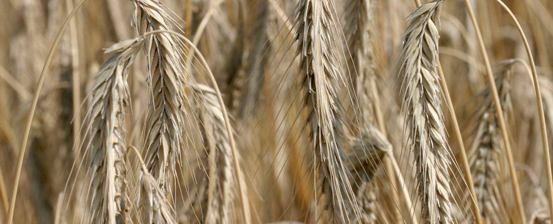 1800x730 - UBI - Goodness of rye